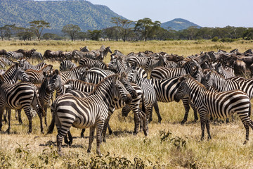 The end of the Big Migration in Tanzania  -  Serengeti nat. park.