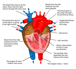 Heart of body in terms of animation structure isolated on a white background Vector Illustration