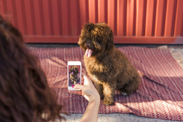 Woman hands with mobile smart phone taking a photo of Spanish water dog over red background. Happy dog. Outdoors portrait