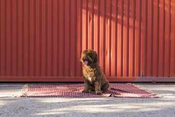 Isolated Brown Spanish Water Dog over red background. outdoors portrait