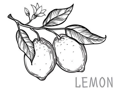 Vintage lemon tree sketch. Vector hand drawn illustration.