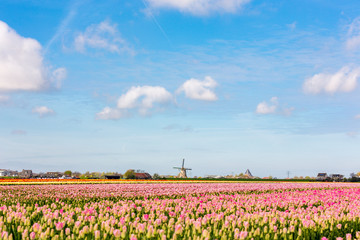 Windmill in fields with pink tulips in the Netherlands