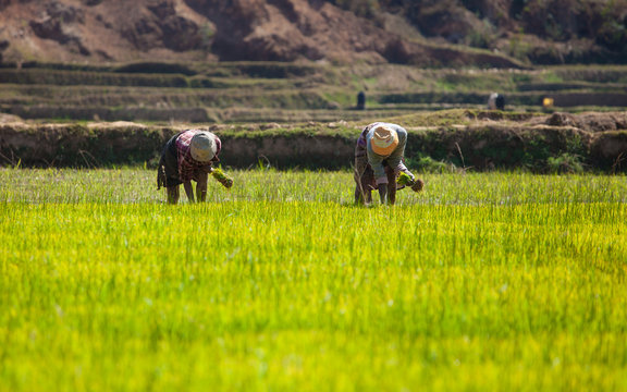 Madagascar, women working on rice fields