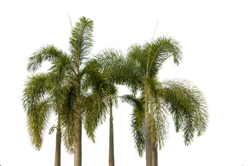 green leaf of palm or coconut in garden,isolated on white
