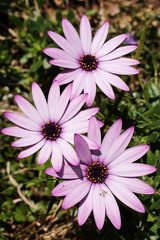 Folwers - Aster