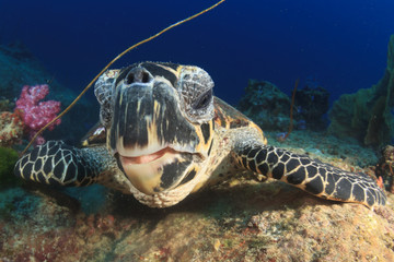 Hawksbill Sea Turtle feeds on coral