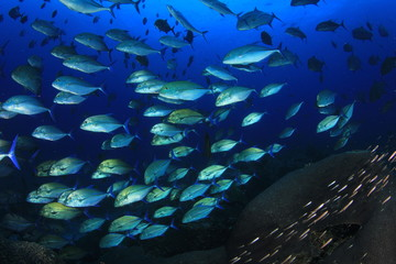 School of Trevally fish. Tuna fish underwater