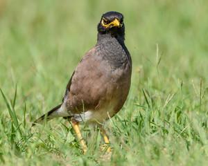 Indian Myna Bird