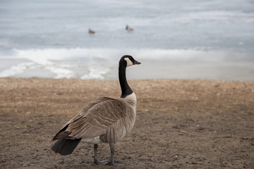 Canada Goose on the Shore