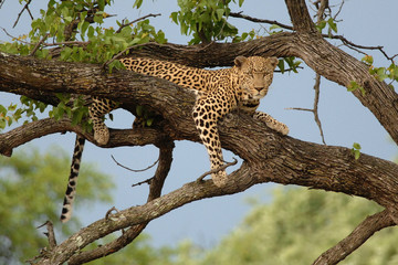 Large male Leopard in a tree