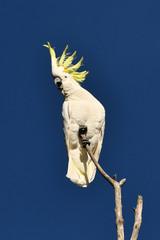 Sulphur-crested Cockatoo showing crest