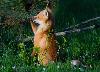 Fox Baby Playing with Pine Cone