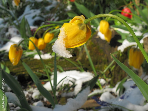 schnee im april auf blumen im garten stock photo and royalty free images on pic. Black Bedroom Furniture Sets. Home Design Ideas