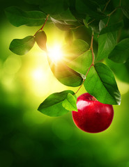 Red apple on a tree