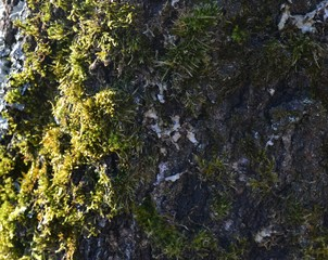 Green moss grows on the birch bark in the park in the early morning