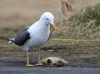 Lesser Black-backed Gull, Larus fuscus, birds of Iceland