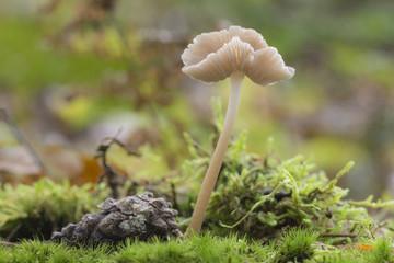Mushroom called Mycena rosea.