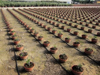 olive saplings with drip irrigation