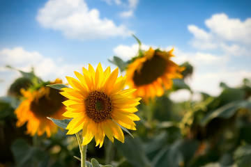 Sunflower in fields
