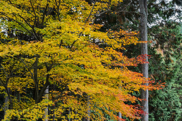 Autumn maple tree of yellow to red color