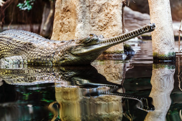 gharial head above water, it is a most endangered and almost extinct crocodile in the world