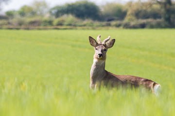Young deer on the field