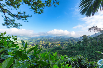 Early morning View of a Coffee plantation near Manizales in the Coffee Triangle of Colombia.