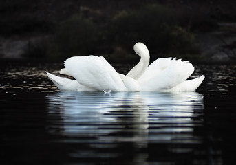 White swans couple in a beautiful figure at the dark lake background with beautiful reflecion at the water