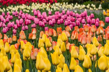 Tulpenmeer mit gelben und rosa Tulpen