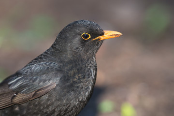 Portrait of Common Blackbird (Turdus merula).Male