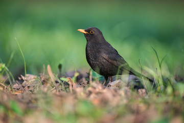 Common Blackbird (Turdus merula).Male