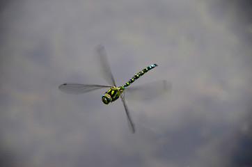 Dragon Fly hovers over a water surface.