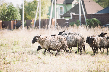 Adorable farm sheep running in the field