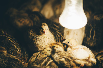 Adorable quail birds right after the incubator in the farm