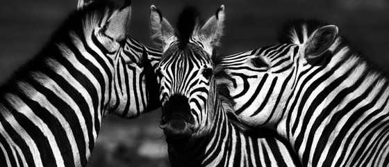 Photo sur Plexiglas Zebra Close up of a playful group of Zebras
