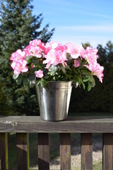 Pink azalea in a metal pot