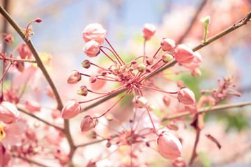 Pink shower tree,Cassia bakeriana