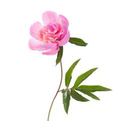 Pink peony isolated on white background.