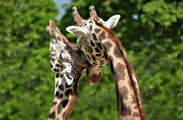 Animal close-up photography. Giraffe couple showing a liking to each other.