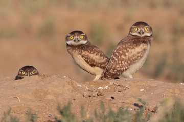 Burrowing Owls in Colorado