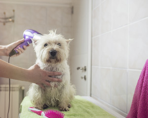 Home bathing cute west highland white terrier dog