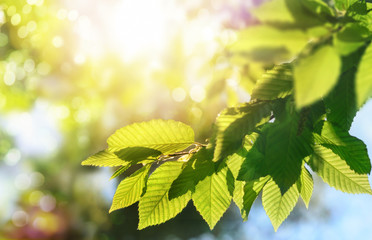 Wall Mural - Green leaves on a branch with the sun in the background, shallow focus for pleasant  bokeh and copy space