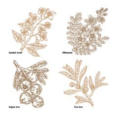 Hand drawn sketch perfumery and cosmetics plants. Vector illustration sandalwood, tea tree, olibanum and argan branch isolated on white background