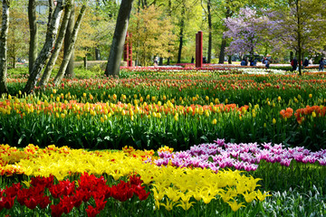 Field with tulips in the Keukenhof garden, Holland Netherlands