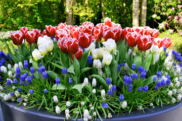 Colorful tulips in Keukenhof garden, Holland Netherlands