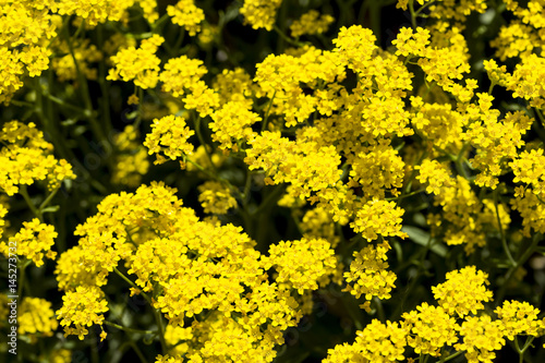 Small yellow flower bush stock photo and royalty free images on small yellow flower bush mightylinksfo