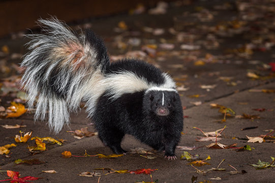 Striped Skunk (Mephitis mephitis) Turns on Pavers