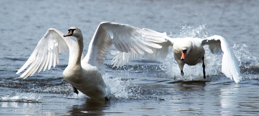 Two swans running on water
