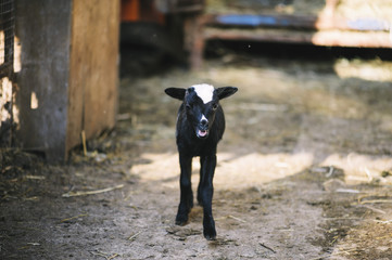 Adorable little black baby sheep in the farm