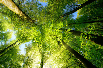 Wall Mural - Rays of sunlight falling through a tree canopy create an enchanting atmosphere in a fresh green forest